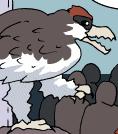 A rock pigeon